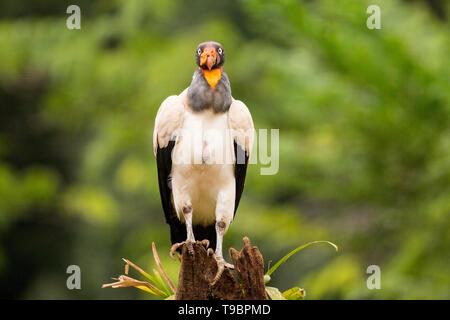 King Vulture, alimentation adultes sur le sol, Laguna de Lagarto, le Costa Rica 30 Mars 2019 Banque D'Images