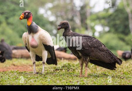 King Vulture, nourrir les oiseaux immatures sur sol, Laguna de Lagarto, le Costa Rica 30 Mars 2019 Banque D'Images