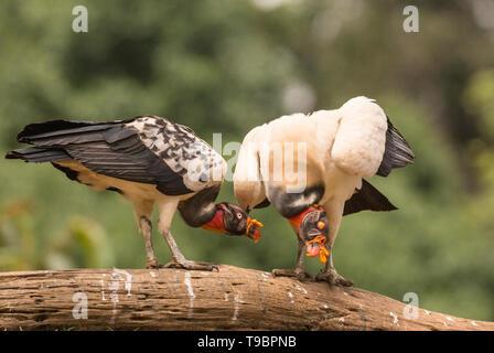 King Vulture, Laguna de Lagarto, le Costa Rica 30 Mars 2019 Banque D'Images