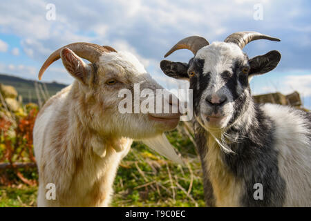 Deux chèvres dans un champ Banque D'Images