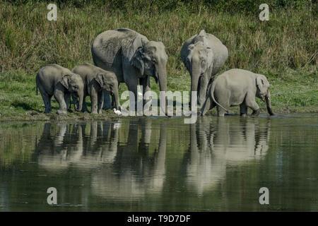 Une soif de la famille éléphant d'Asie (Elephas maximus).