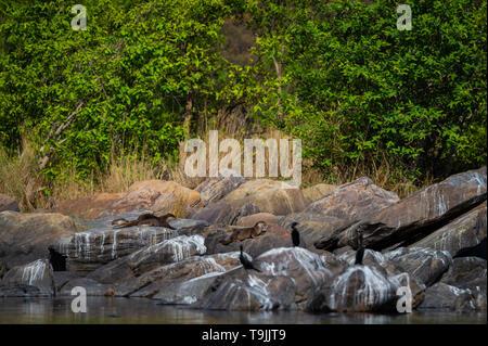 Des loutres de rivière chambal. Une image de l'habitat à revêtement lisse Cerdocyon otter pers famille chiots jouent dans la lumière du matin sur les rochers avec un fond vert
