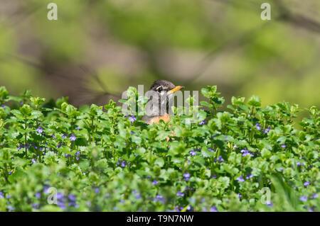 Cute Le merle portrait avec des coups d'oiseaux tête hors de buissons verts / arbuste à fleurs un peu de violet - prise près du ruisseau dans Minnehaha Minneapoli Banque D'Images