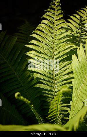 Dans la forêt de fougères éclairé par lumière dure.Nature et de verdure. Banque D'Images