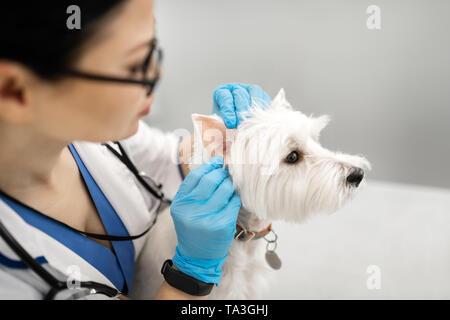 Porter des gants de l'EFP bleu contrôle oreille de chien blanc Banque D'Images