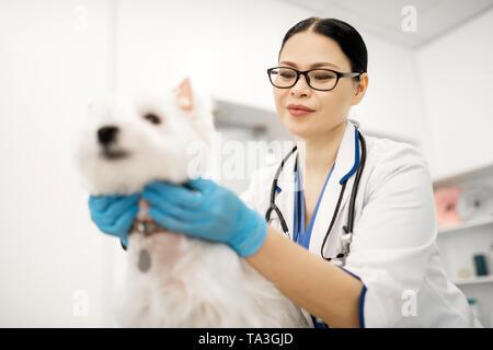 Dark-eyed vet portant des lunettes sentiment occupé à examiner mignon chien Banque D'Images