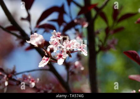 Vue en gros plan de belles fleurs de couleur blanc en pleine floraison sur un sable feuille mauve cherry tree bush Banque D'Images
