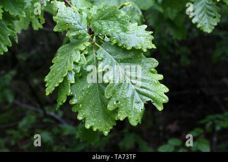 Le feuillage vert est couvert de gouttes d'humidité après la pluie. Banque D'Images