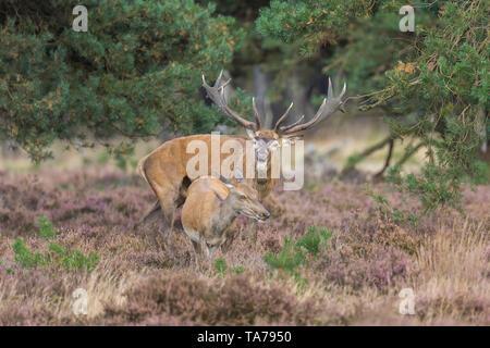 Red Deer (Cervus elaphus). Stag beuglant pendant le rut, s'intéressent à l'Hind. Hoge Veluwe, Gueldre, Pays-Bas Banque D'Images