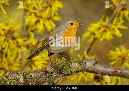 Robin (Erithacus rubecula aux abords). Perché sur une branche adultes, avec l'Hamamélis en arrière-plan. Allemagne Banque D'Images
