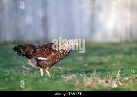 Poule brune mouchetée picore la nourriture dans le village yard sur une journée ensoleillée Banque D'Images