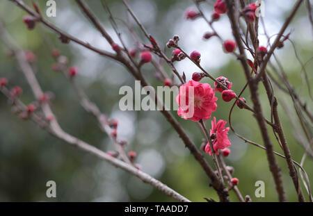 Rose fleur fleurs de prunier dans Parc Jardin Botanique à Wuhan, Hubei en Chine.