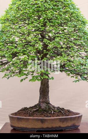 L'Ulmus pumila. Orme de Sibérie bonsai contre un arrière-plan couleur crème sur l'affichage à l'ERS Malvern festival du printemps, Worchestershire, UK Banque D'Images