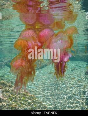 Agrégat de plusieurs méduses au-dessous de la surface de l'eau, stinger mauve Pelagia noctiluca, sous l'eau à la mer Méditerranée, l'Espagne