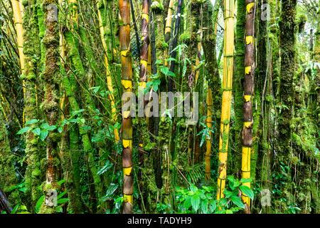 USA, Hawaii, Big Island, Akaka Falls State Park, forêt de bambou Banque D'Images