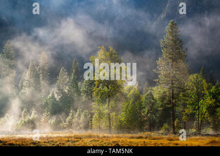 Les conifères et le brouillard du matin, Yosemite NP, California, USA, par Bill Lea/Dembinsky Assoc Photo
