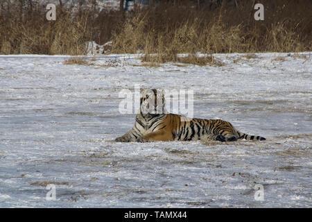 Harbin Chine, tigre de Sibérie en hiver ouvert Banque D'Images