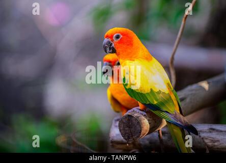 Belle paire de tourtereaux perroquets colorés sur la branche. Amour couple perroquet coloré Banque D'Images