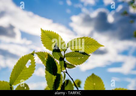 Sculpté vert de feuilles d'arbres sur l'arrière-plan d'un beau ciel avec des nuages Banque D'Images
