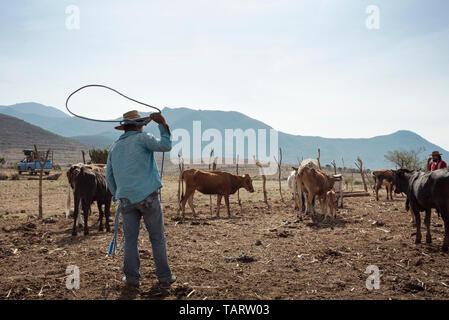 La vie à la ferme avec bouvier essayant d'attraper un bébé vache avec un lasso. Teotitlan del Valle, Oaxaca, Mexique. Mai 2019 Banque D'Images