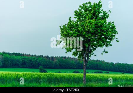 Seul arbre en face de la route de champ de céréales vert et hill Banque D'Images