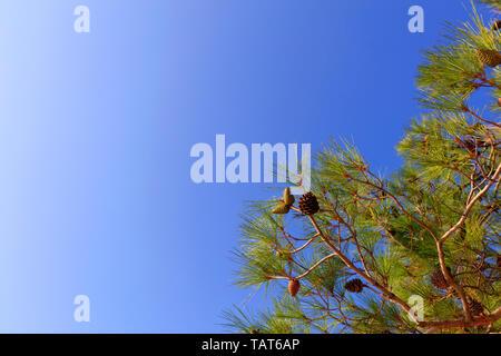 Branche verte de la Méditerranée epicéa avec de jeunes cônes sur un fond de ciel bleu avec l'exemplaire de l'espace.