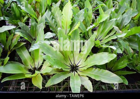 Feuilles Vert fougère nid d'oiseau dans le jardin pépinière de plantes agricoles contexte - Asplenium nidus nest fern