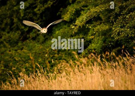 Effraie des clochers (Tyto alba) éclairées par la lumière du soleil du soir dans l'habitat de chasse, volant à basse altitude au-dessus des prairies, ailes déployées - Baildon, West Yorkshire, Angleterre, Royaume-Uni. Banque D'Images