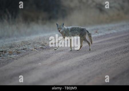 Coyote Banque D'Images