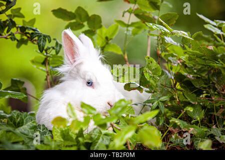 Lapin nain blanc