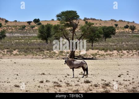(L'antilope oryx Oryx gazella) dans le Parc National de Kgalagadi, prise le 25.02.2019. Les deux cornes et masque noir sont typiques de ce jusqu'à 200 kg d'antilopes. Le Kgalagadi Transfrontier National Park a été créé en 1999 par fusion de l'Afrique du Sud le parc national de Kalahari Gemsbok et le parc national de Gemsbok au Botswana et est une réserve naturelle transfrontalière dans le Kalahariwssste avec une superficie d'environ 38 000 kilomètres carrés. Le parc est bien connu pour les lions, qui sont souvent l'on y trouve, mais aussi pour de nombreux autres animaux sauvages qui vivent ici. Photo: Matthias Banque D'Images