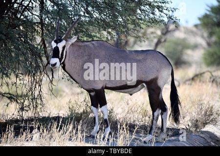 (L'antilope oryx Oryx gazella) avec un corbillard dans le Parc National de Kgalagadi, prise le 25.02.2019. Les deux cornes et masque noir sont typiques de ce jusqu'à 200 kg d'antilopes. Le Kgalagadi Transfrontier National Park a été créé en 1999 par fusion de l'Afrique du Sud le parc national de Kalahari Gemsbok et le parc national de Gemsbok au Botswana et est une réserve naturelle transfrontalière dans le Kalahariwssste avec une superficie d'environ 38 000 kilomètres carrés. Le parc est bien connu pour les lions, qui sont souvent l'on y trouve, mais aussi pour de nombreuses autres espèces sauvages qui vivent il Banque D'Images