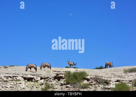 Les antilopes (Oryx gazella Oryx) à une altitude dans le Parc National de Kgalagadi, prise le 25.02.2019. Les deux cornes et masque noir sont typiques de ce jusqu'à 200 kg d'antilopes. Le Kgalagadi Transfrontier National Park a été créé en 1999 par fusion de l'Afrique du Sud le parc national de Kalahari Gemsbok et le parc national de Gemsbok au Botswana et est une réserve naturelle transfrontalière dans le Kalahariwssste avec une superficie d'environ 38 000 kilomètres carrés. Le parc est bien connu pour les lions, qui sont souvent l'on y trouve, mais aussi pour de nombreux autres animaux sauvages qui vivent ici Banque D'Images