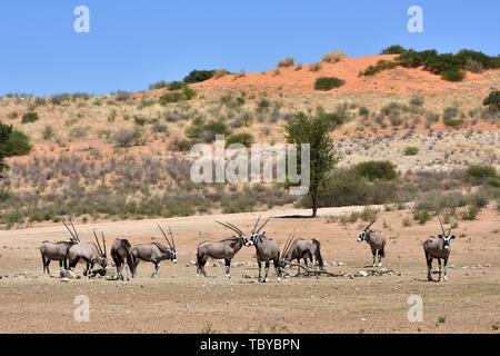 Les antilopes (Oryx gazella Oryx) dans le Parc National de Kgalagadi, prise le 25.02.2019. Les deux cornes et masque noir sont typiques de ce jusqu'à 200 kg d'antilopes. Le Kgalagadi Transfrontier National Park a été créé en 1999 par fusion de l'Afrique du Sud le parc national de Kalahari Gemsbok et le parc national de Gemsbok au Botswana et est une réserve naturelle transfrontalière dans le Kalahariwssste avec une superficie d'environ 38 000 kilomètres carrés. Le parc est bien connu pour les lions, qui sont souvent l'on y trouve, mais aussi pour de nombreux autres animaux sauvages qui vivent ici. Photo: Matthia Banque D'Images