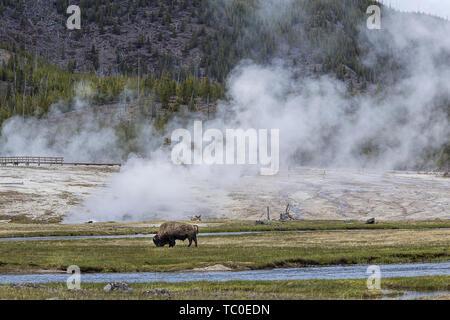 Un bison broute au bassin du biscuit dans le Parc National de Yellowstone.