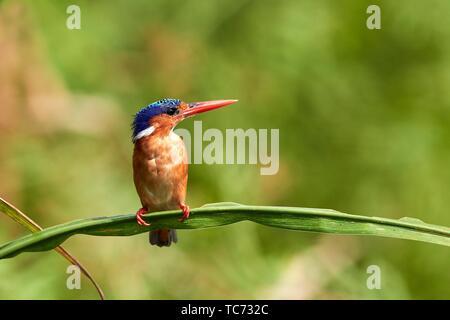 Martin-pêcheur huppé (Alcedo cristata) perché sur reed. Marais de Mabamba. Le lac Victoria. L'Ouganda. Banque D'Images