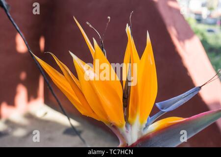 Close up d'un magnifique oiseau de paradis lumineux orange fleur sur fond de puissantes feuilles vertes. Strelitzia reginae. Banque D'Images