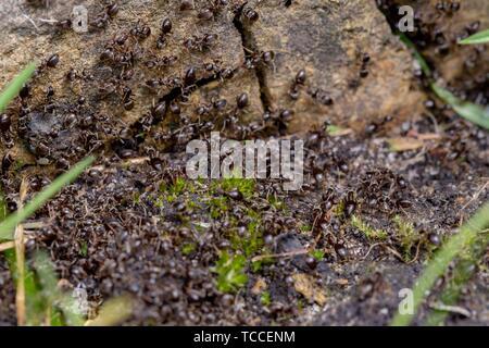 Essaim d'occupé fourmis noires (Lasius niger) dans un jardin. Banque D'Images