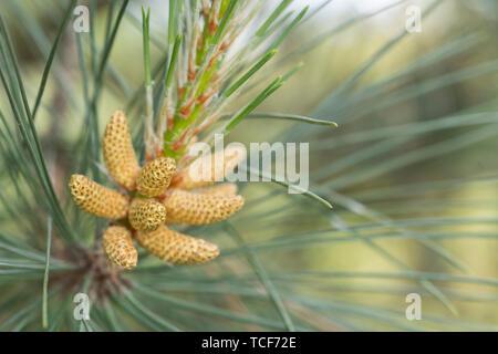 Gros plan fleurs mâles de conifères que l'on croit être le pin sylvestre / Pinus sylvestris. Tree appx. 3m de haut et de plus en plus parmi les dunes de sable à Cornwall.