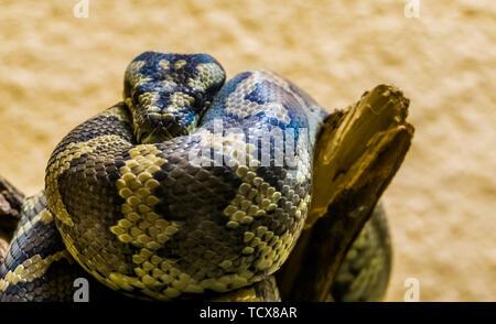 Libre d'un tapis nord-ouest de python sur une branche d'arbre, serpent tropical de l'Australie