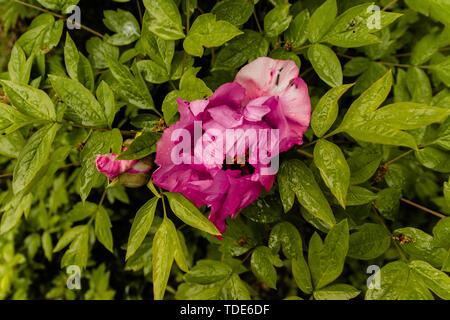 Pivoine rose dans le jardin. Modèle de conception de faire-part de mariage, carte d'affaires, l'emballage de décoration Banque D'Images