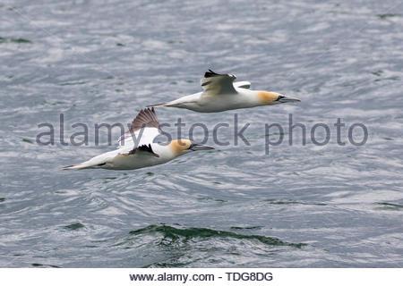 Une paire de (Nord) Bassan voler juste au-dessus de la mer à Bempton, East Yorkshire, UK