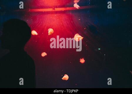 La silhouette d'un homme près d'un réservoir de poissons exotiques avec medusa et de méduses dans c Banque D'Images