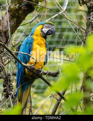 Le bleu et jaune, Ara ararauna Ara aussi connu comme le bleu et or, Ara est un grand perroquet d'Amérique du Sud avec la plupart des pièces et la lumière bleu top o Banque D'Images
