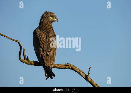 Serpent brun-eagle (Motacilla cinereus) sur branche morte tourne la tête, le Parc National du Serengeti, Tanzanie Banque D'Images