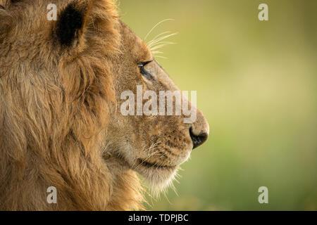 Close-up of male lion (Panthera leo) la tête de profil, le Parc National du Serengeti, Tanzanie