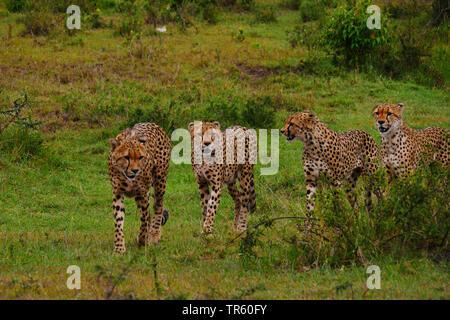 Le Guépard (Acinonyx jubatus), quatre guépards à marcher ensemble dans un pré, Kenya, Masai Mara National Park Banque D'Images