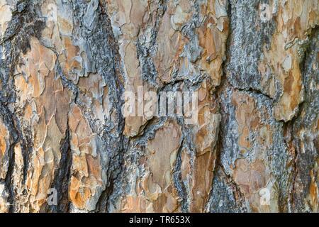 Pin sylvestre, le pin sylvestre (Pinus sylvestris), l'écorce, Allemagne Banque D'Images