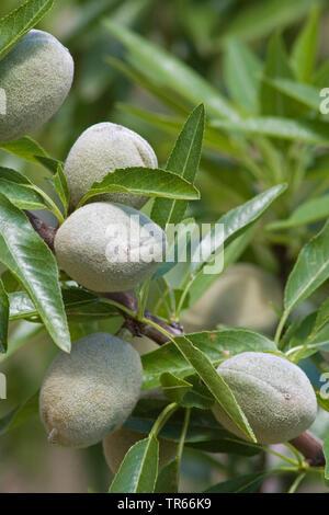 Amande (Prunus dulcis, Prunus amygdalus, Amygdalus communis, Amygdalus dulcis), l'amande des fruits sur un arbre, l'Espagne, Katalonia Banque D'Images