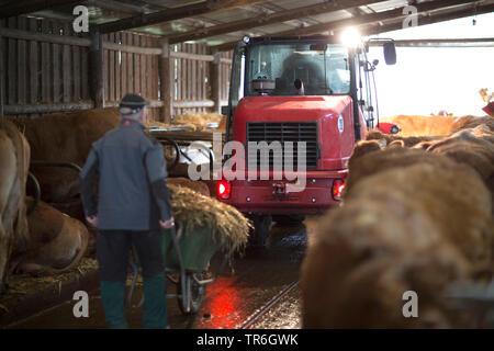 Les bovins domestiques (Bos primigenius f. taurus), du tracteur et vaches dans stable, Allemagne Banque D'Images